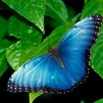 Blue-Butterfly-Wallpapers1